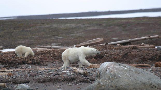 Pierre Fijalkowski – Arctica Nature Spitzberg 201402